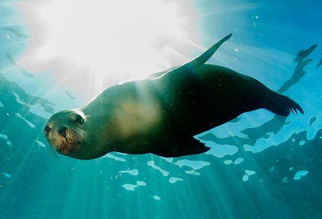 diving seal