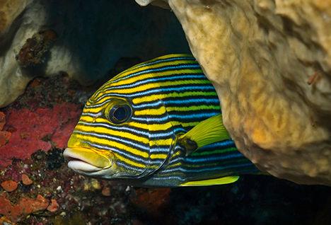 sweetlips diving Raja Ampat