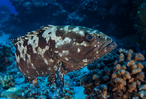 grouper diving Maldives