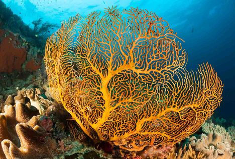 Gorgonian Sea Fan