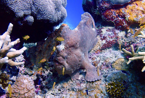 frogfish moalboal