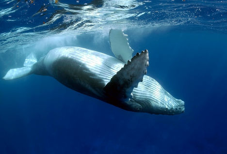 humpback whale listing image