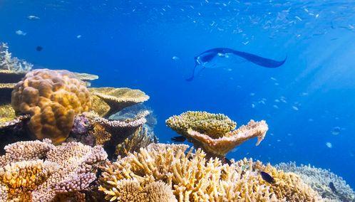 Manta ray, Taveuni