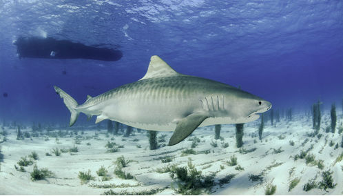 Tiger Shark Bahamas