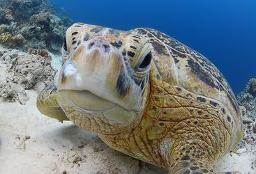 Picture of a Sea Turtle at Sipadan-Kapalai Dive Resort