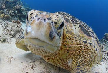 Picture of a Sea Turtle at Sipadan-Kapalai Dive Resort