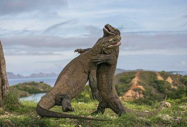 Fighting Komodo Dragons