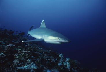 Silvertip Reef Shark, New Ireland, Papua New Guinea
