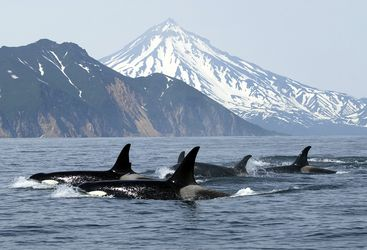 Killer whales, Norway