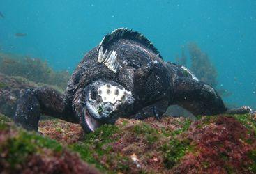 Iguana Underwater, Galapagos