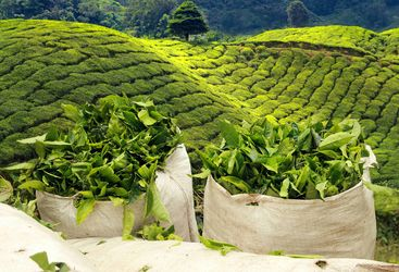 tea plantations Sri Lanka