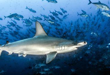 hammerhead shark in cocos island