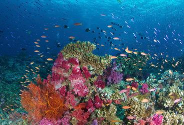 Coral at Bligh Water