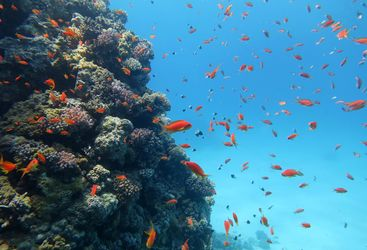 coral fish in red sea