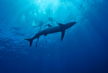 Blue shark and divers in the Azores
