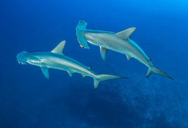 hammerhead sharks forgotten islands