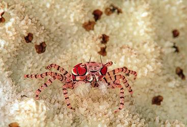 pom pom crab