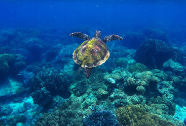 Green turtle, Apo Island