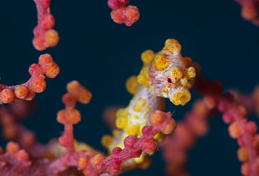 Yellow pygmy seahorse