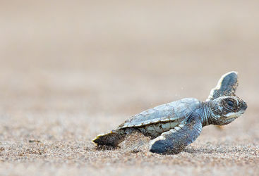 turtle hatchling