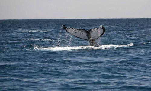 Humpback Whale Tail, Socorro Island