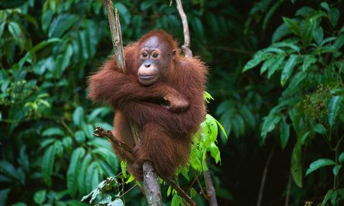 Orangutan in tree, Borneo