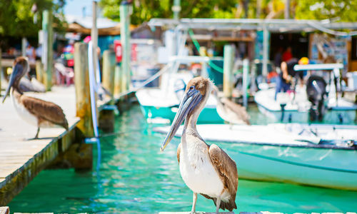 Brown Pelicans on the pier