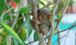 Tarsier in a tree, Philippines