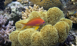 Fish with mushroom leather coral