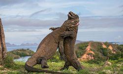 Komodo Dragons Fighting, Indonesia