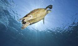 Hawksbill Turtle Swimming