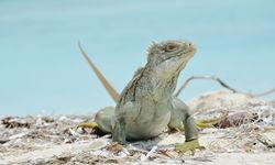 Iguana, Turks and Caicos