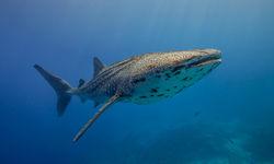 Whale Shark, Tubbataha Reef
