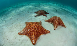 Sea Star, Bahamas
