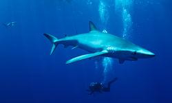 Blue shark under water