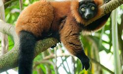 Lemur spotting, Madagascar