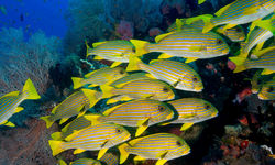 Sweetlips fishes Underwater