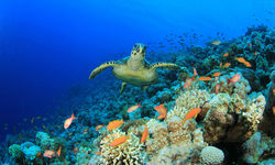 Sea Turtle and Coral Reef in Madagascar