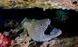 Moray Eel, Daymaniat Islands