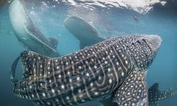 Whaleshark, Papua New Guinea