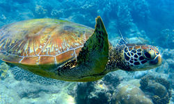Sea Turtle, Damaniyat Islands