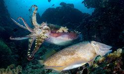 Cuttlefishes Underwater