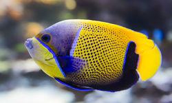 Blue girdled angel fish
