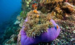 Large pink anemonefish