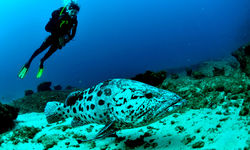 Diving with Grouper