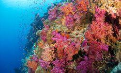 Fiji pink coral