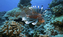 Diving with Lionfish, French Polynesia