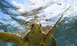 Turtle Underwater, Fiji