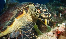 Turtle Eating, Maldives