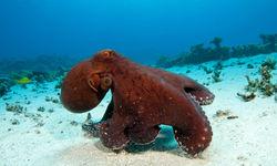 Red Octopus, Ningaloo Reef